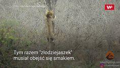 Lew złodziejaszek. Nagranie z Parku Narodowego Krugera