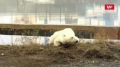 Wygłodzona błądziła po mieście. Do miasta wszedł niedźwiedź po raz pierwszy od 40 lat