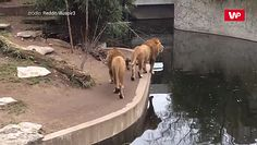 Postawił łapę w złym miejscu. Nagranie z zoo
