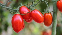 Najzdrowsza odmiana pomidorów