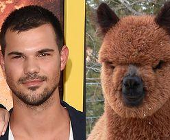 Lamy i alpaki, które wyglądają jak Taylor Lautner! (ZDJĘCIA)