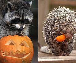 Zwierzęta, które uwielbiają dynie (ZDJĘCIA)