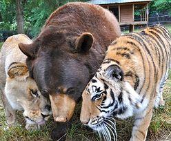 Nietypowa przyjaźń... niedźwiedzia, tygrysa i lwa (ZDJĘCIA)