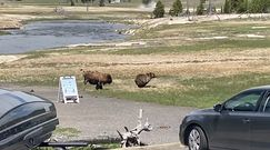 Walka niedźwiedzia z bizonem