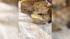 Zaskakująca metamorfoza lisa. Ludzie uratowali mu życie
