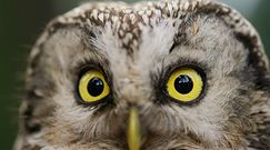 Chroniona sowa włochatka. Sensacyjne odkrycie leśników z Kujaw