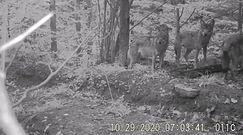 Wataha wilków w Bieszczadach. Nagranie z fotopułapki