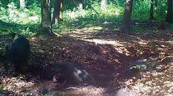 Dziki podczas błotnej kąpieli. Niezwykłe nagranie z mazurskiego babrzyska
