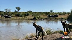 Polowanie watahy likaonów na impalę. Niezwykłe nagranie z safari w RPA