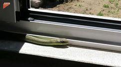 Wypłoszył węża z domu