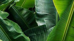 Bananowiec. Sprawdzone sposoby na pielęgnację i uprawę tej pięknej rośliny