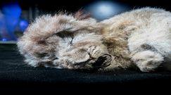 Lwy jaskiniowe nie są przodkami współczesnych. Odkrycie naukowców rzuca nowe światło