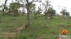 Lampart kontra gepard. Konfrontacja na sawannie