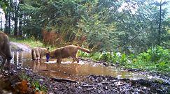 Zabawa młodych wilków w bajorze. Nagranie z leśnej fotopułapki