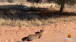 Sprytny lampart zaskoczył antylopę. Ciekawe nagranie z safari w RPA