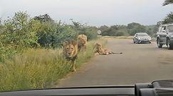 Oko w oko z lwem. Niezwykłe nagranie z safari