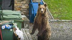 """Niedźwiedź w Zakopanem. """"Apelujemy, by mieszkańcy zabezpieczali kosze na śmieci"""""""