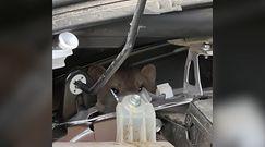 Łasice pod maską samochodu. Zabawne nagranie z Belgii