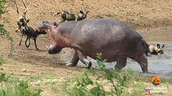 Hipopotam - najgroźniejsze zwierzę w Afryce. Zbiór nagrań z parku narodowego Krugera w RPA