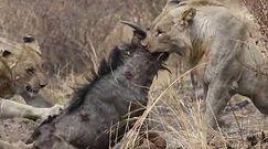 Gnu kontra lwy. Dzika przyroda prosto z afrykańskiego safari