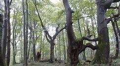 Niezwykłe drzewa na szczycie Bieszczad. Nagranie z Nadleśnictwa Baligród