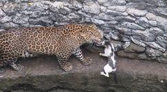 Lampart kontra kot. Zaskakujący finał polowania