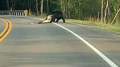 """Niedźwiedź ciągnie """"obiad"""" przez drogę. Nagranie z USA"""