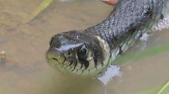 Spotkali węża w Bieszczadach. Nagranie z Nadleśnictwa Baligród