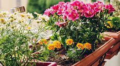 Sposoby na zimowanie kwiatów balkonowych. Podpowiadamy, jak zabezpieczyć rośliny