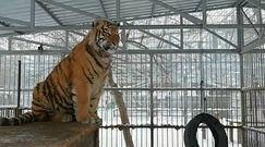 """""""Śpiew"""" tygrysa. Syberyjskie zoo pokazuje zadziwiające nagranie"""