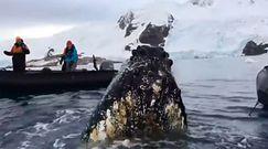 Bliskie spotkanie z ciekawskim wielorybem. Niezwykłe nagranie z Antarktydy