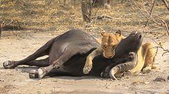 Lwica kontra bawół. Nagranie z afrykańskiego safari