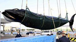 Japońscy rybacy złowili wieloryba, który mierzył 7,6 m