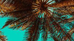 Palmy wyrosły z nasion sprzed 2000 lat. To pierwszy taki przypadek