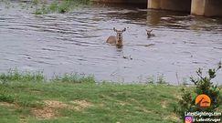 Potęga natury. Rzeka porwała antylopę