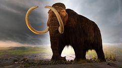 Powrót mamuta włochatego? Badacze chcą stworzyć nową hybrydę
