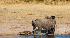 Słoń kontra krokodyl. Dramatyczne nagranie z safari