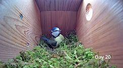 Niezwykłe nagranie sikorki modrej. Od pustej budki lęgowej do pierwszego jajka