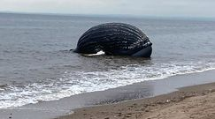 Martwy humbak na plaży. Badacze odkryli coś przerażającego