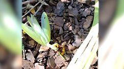 Walka modliszki z szerszeniem. Nagranie z Wigierskiego Parku Narodowego na Suwalszczyźnie