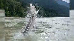 Jesiotr gigant w kanadyjskiej rzece. Wędkarze uchwycili kamerą spektakularny moment
