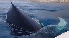 Oko w oko z morskim gigantami. Bliskie spotkanie ze stadem humbaków na Grenlandii