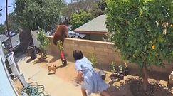 Niedźwiedź przechodził do psów przez mur. 17-latka z USA postanowiła ich bronić