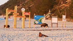 Dziki na plaży. Zaskoczeni turyści nagrali to, co się działo przed nimi