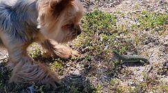 Pies kontra jaszczurka. Finał zaskakującego spotkania