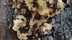 Kolcówka jabłoniowa. Rzadki grzyb występujący w Polsce