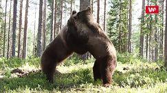Walka pomiędzy ogromnymi niedźwiedziami brunatnymi. Niecodzienne wideo z Finlandii