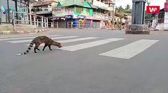 Sensacja na ulicy w Indiach. Pojawił się gatunek uznany za wymarły