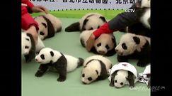Młode Pandy wielkie z chińskiego Zoo