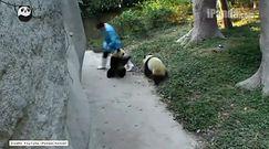 Chińskie pandy grają w berka!